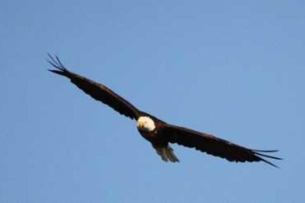 Kansas Kritters Bald Eagle