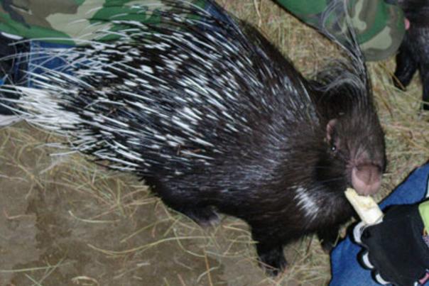 Porcupine eating a banana