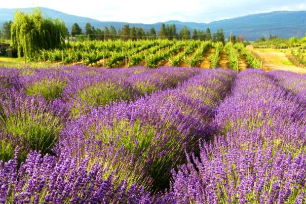 Rows of Lavender - Blog Lead Image