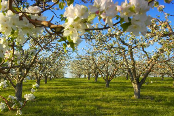 Kelowna - Blossoms