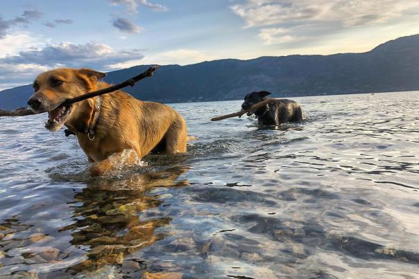 Dogs with Sticks in Lake