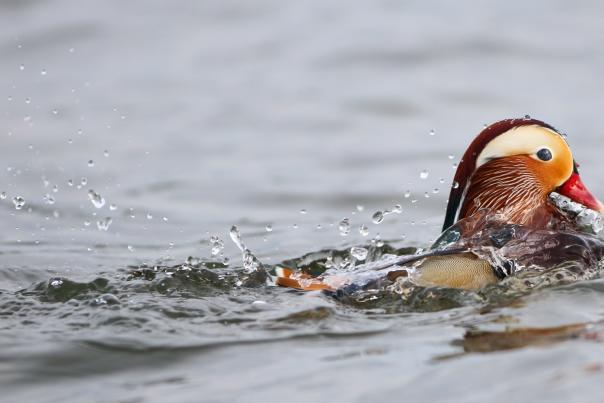 A Mandarin duck swimming in Lake Washington