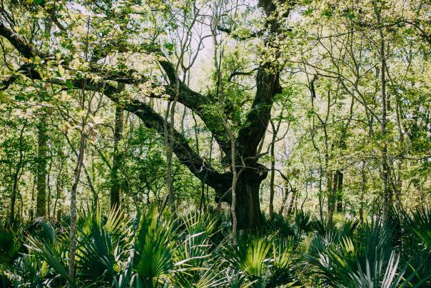 Bayou Vermilion Excursion: Tree Surrounded by Palmettos