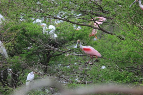 Roseate Spoonbill Birding