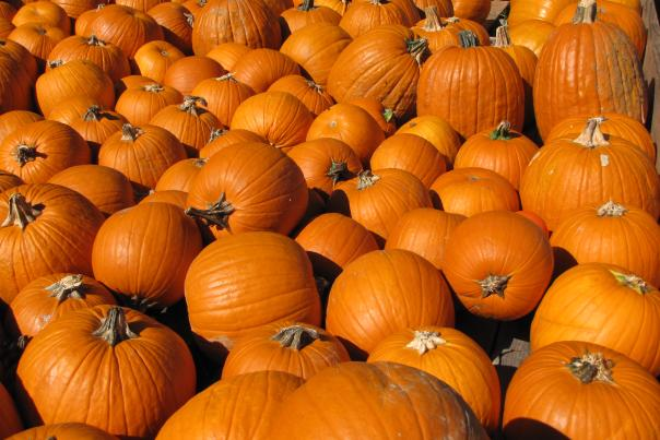 Pumpkins at Great Country Farms