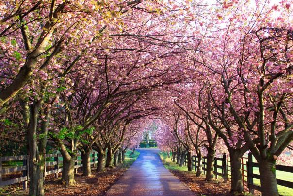 wheatland spring cherry blossom