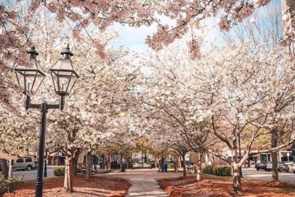 Kimie Yates Cherry Blossom