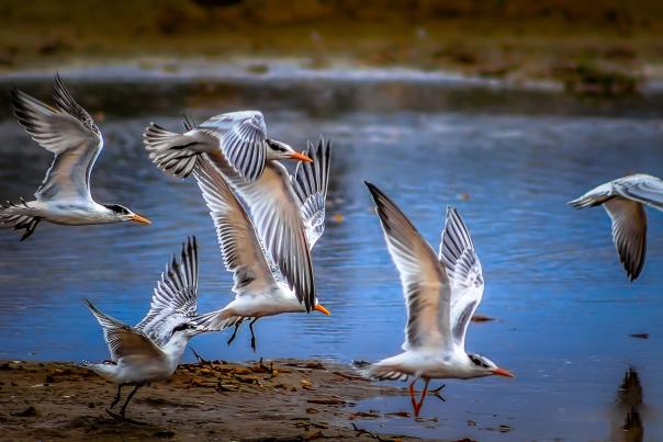 Birds_MBT.1