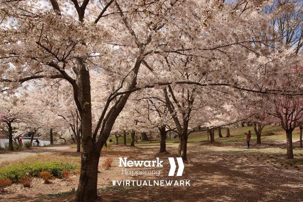 Cherry Blossom Zoom Background