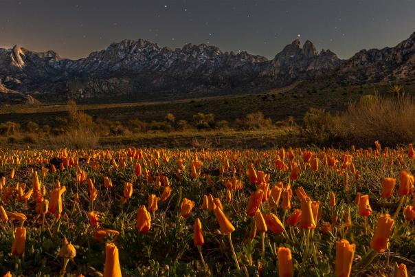 A field of Mexican poppies framed by the Organ Mountains, New Mexico Magazine