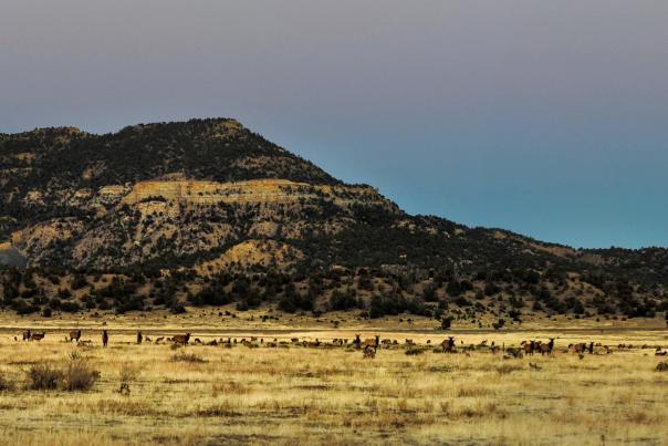 Roaming elk near Dawson Cemetery, outside Cimarrón