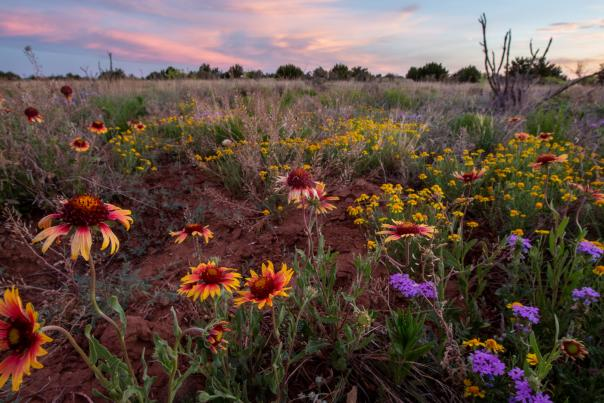 Gaillardia, Dakota mock vervain, and four-nerve daisies dot the landscape near Santa Rosa Lake, New Mexico Magazine