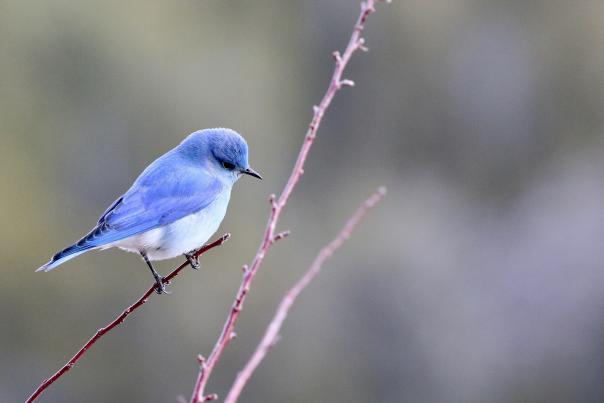 Bluebird in Santa Fe