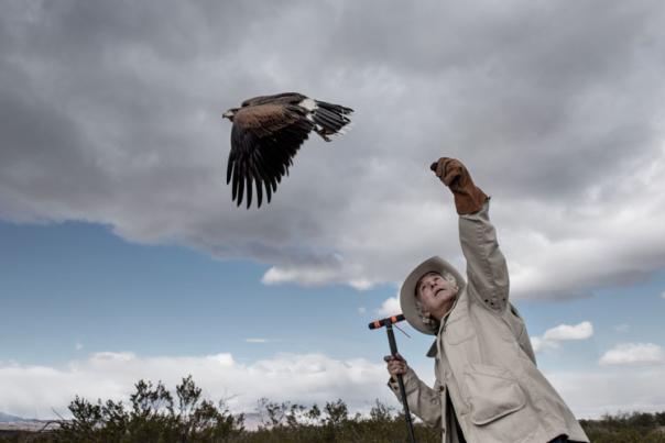 Nature writer Stephen Bodio handles a Harris' Hawk