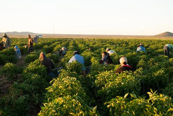 Migrant workers at chile farm in Hatch, NM