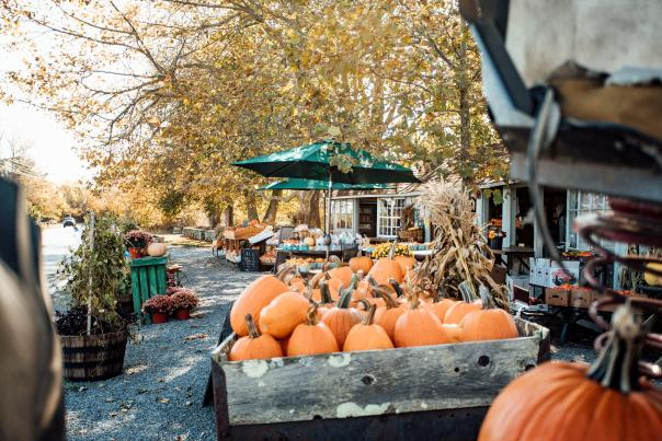 Little Compton Fall Pumpkins Laid Out For Sale