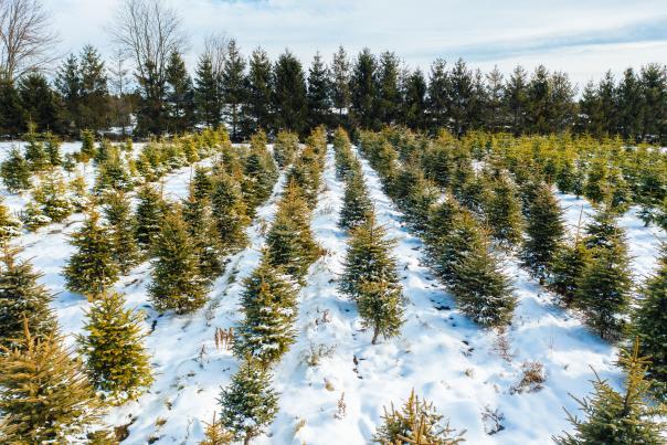 Sweet Berry Farm Christmas Trees
