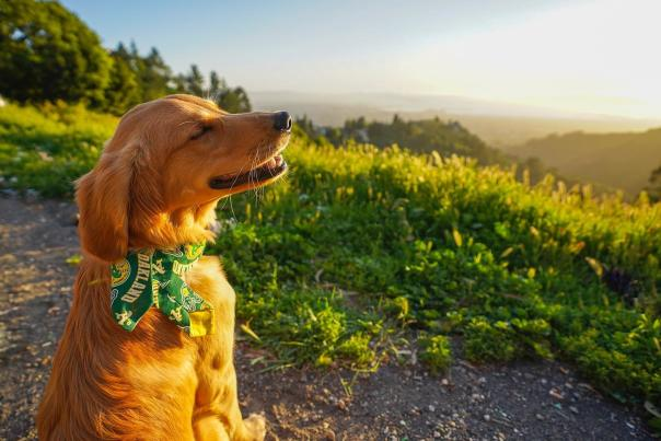 A Golden Retriever sitting in the Hills during a hike