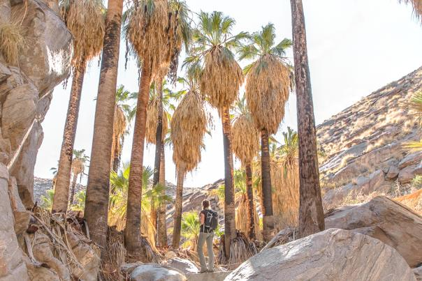Female hiker next to palm trees on the Murray Canyon Trail in Indian Canyons