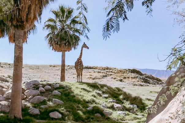 Giraffe and Palm Trees at the Living Desert Zoo