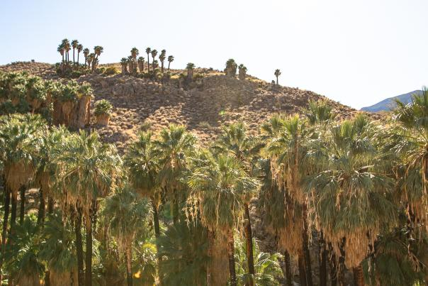 A row of California fan palm trees on the Palm Canyon Trail