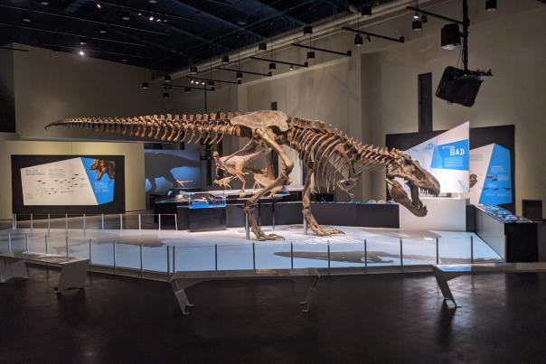 Trex skeleton