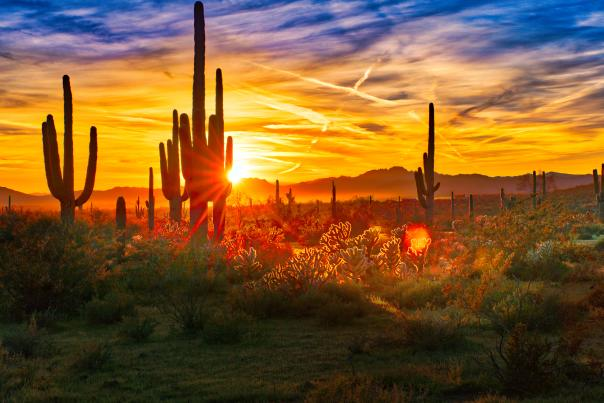 Saguaros at Sunset in Sonoran Desert near Phoenix.