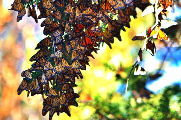 Monarch-Butterfly-Grove-copy