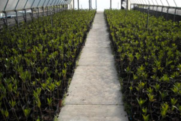 Image on baby mangrove plants growing in a greenhouse.