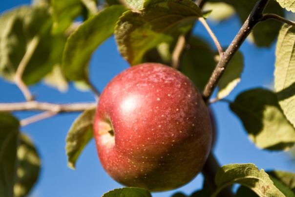 Apple Picking Header