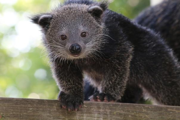 A curious Binturong greets visitors at the Roger Williams Park Zoo in Providence RI