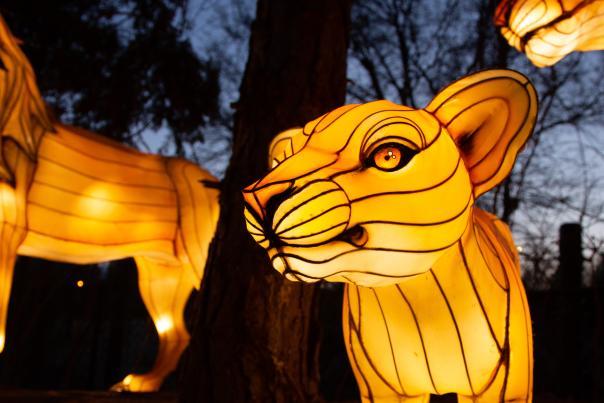 Asian Lantern Spectacular Lions