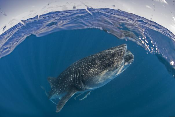 Tiburón Ballena - Header