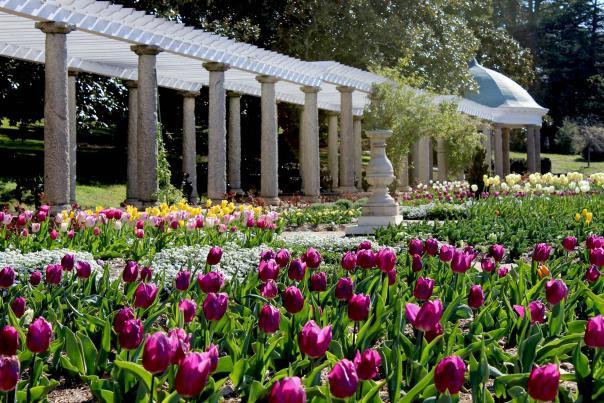 Tulips in Maymont Italian Garden