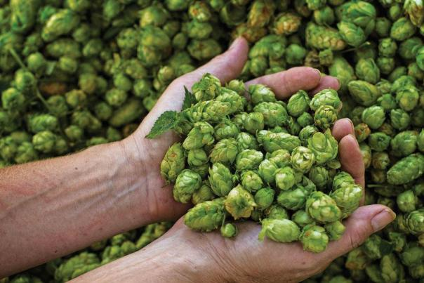 Hops from CB Craft Brewers