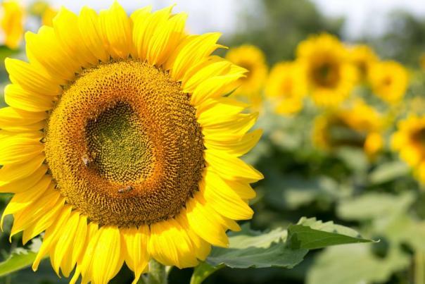 Sunflowers at Wickham Farms