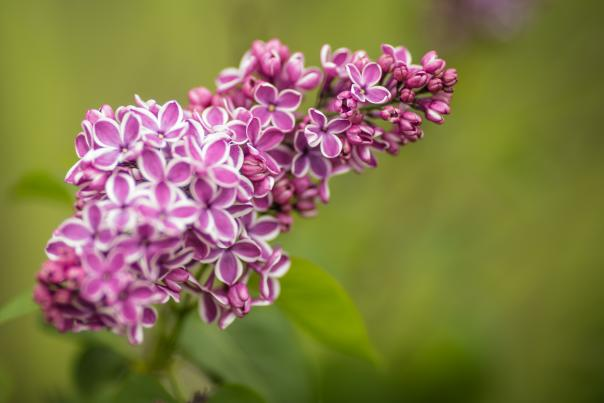 Purple and white lilacs on the bush at Highland Park in Rochester, NY