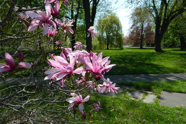 Sonnenberg Gardens - Magnolia With Arboretum Finger Lakes NY
