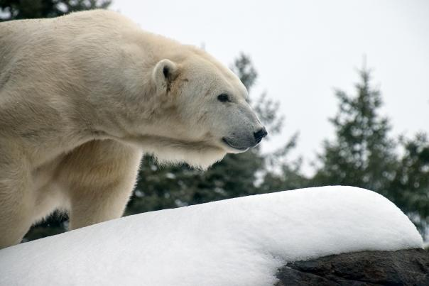 Seneca Park Zoo Polar Bear