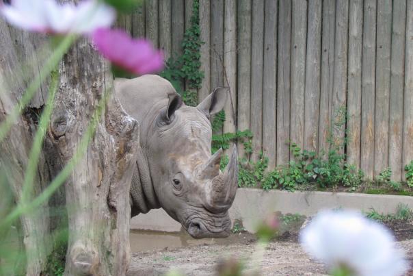 Rhino at the Seneca Park Zoo