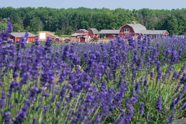 Lavender Field at Wickham Farms from karismatic_kim