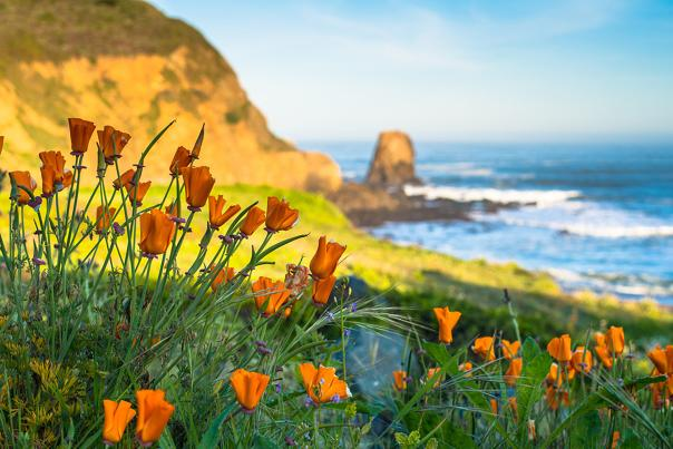 Orange_Poppy_Flowers_Roackaway_Beach_Pacifica_by_BradleyWittke_SanMateoCounty_SiliconValley