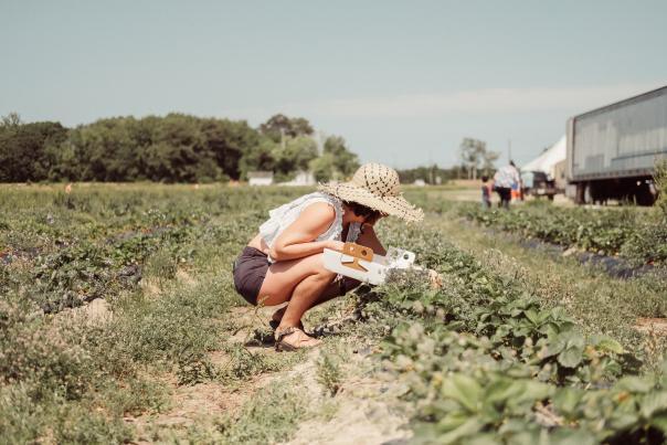 Woman picking up strawberries at a U Pick farm