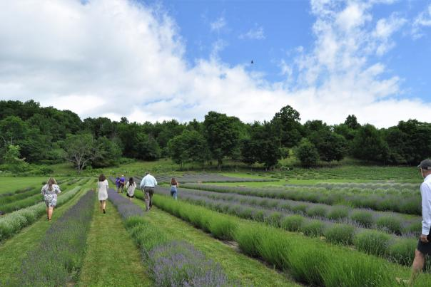 People in lavender fields at Lavenlair Farm