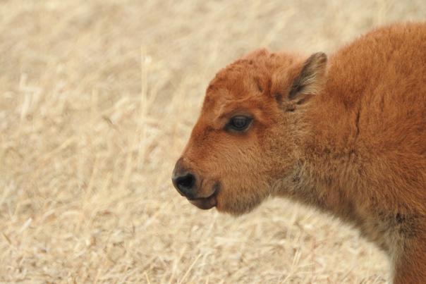 Baby Bison - Wanuskewin