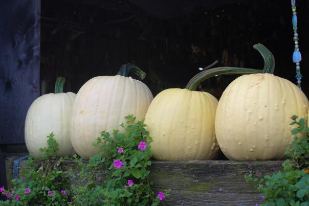 Pumpkins at Manfredi Farm