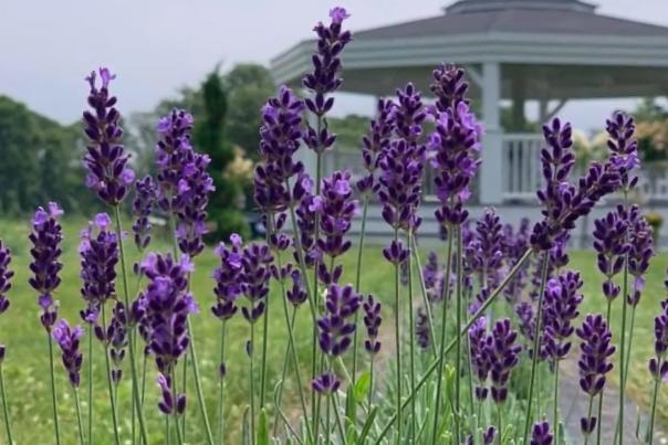 Lavender Waves Farm