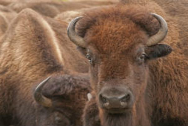 Nature Notes: The Sounds of Bison