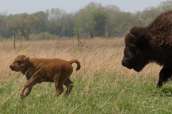 Ten bison calves born at Kankakee Sands