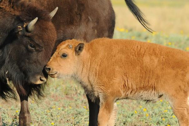 Any day now...Bison calves will be born